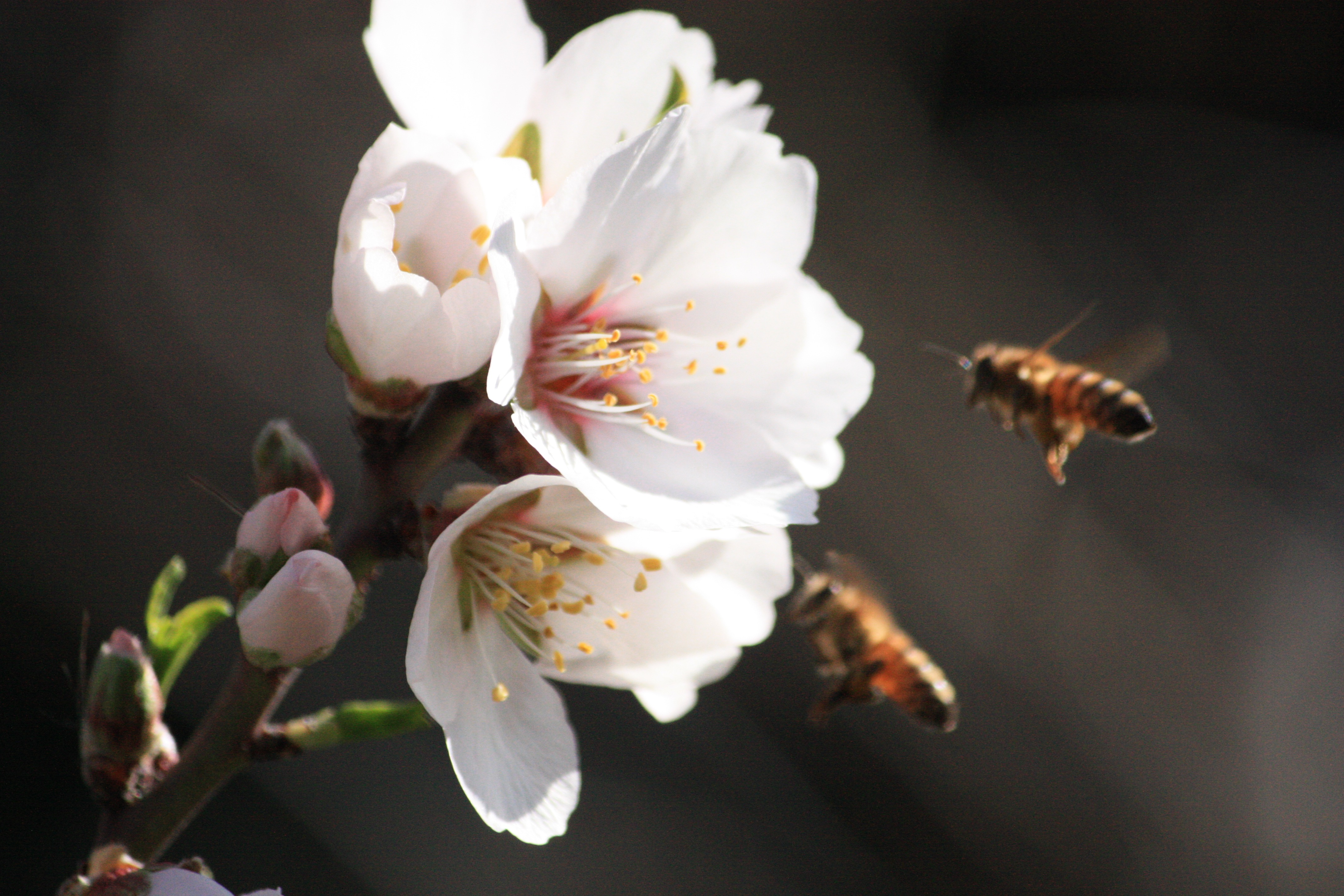 Bees on Almonds