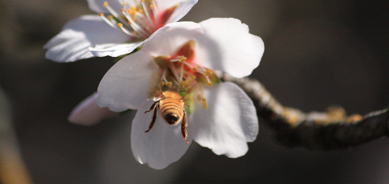 Bee tasting from an almond blossom